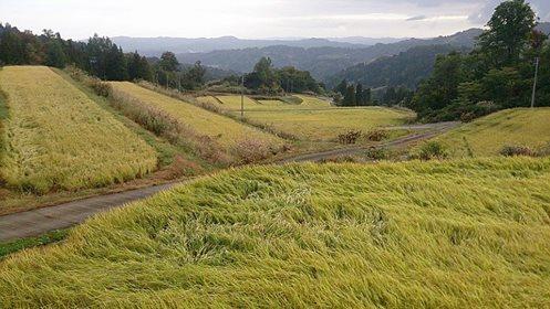 大厳寺高原の下の棚田 18日19日は稲刈りの最盛期になりそう。