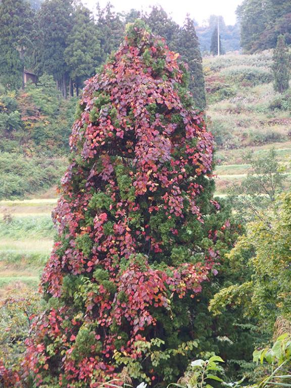 大厳寺高原下で見つけた山ブドウの紅葉 見事でした。