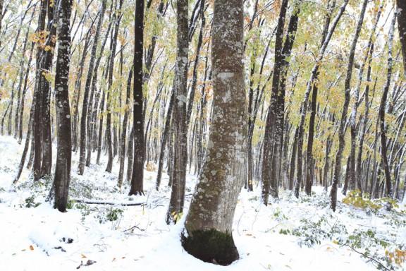 紅葉と雪の美人林 2013年11月12日