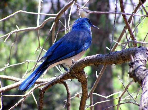 blue-bird-113132_640