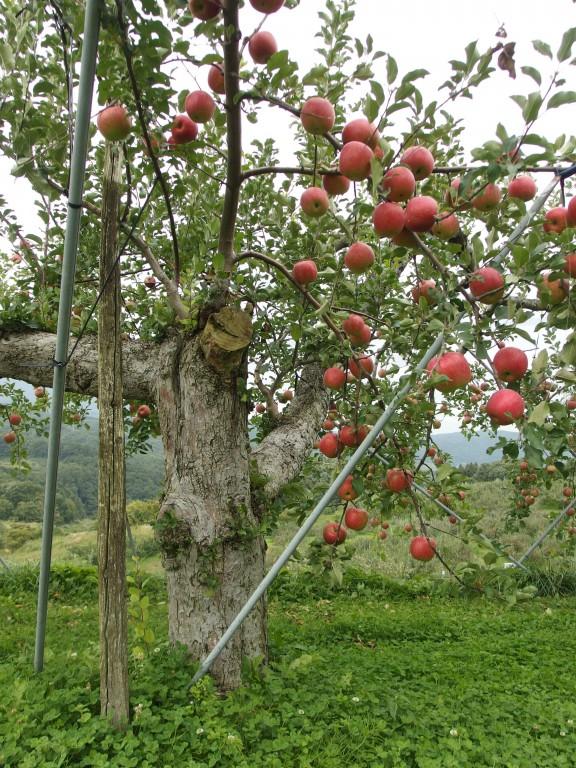 飯綱のリンゴです。