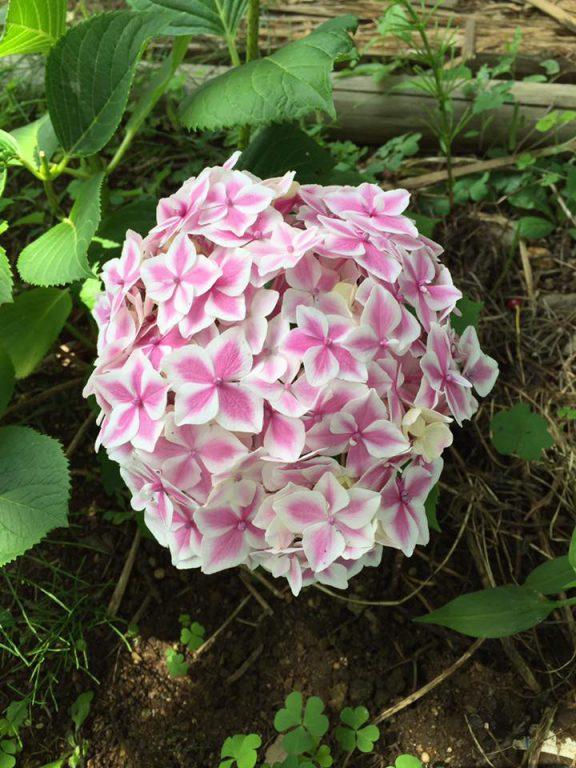 テまり咲の美しい品種