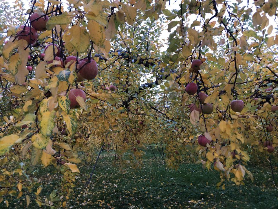 紅葉したリンゴ畑が綺麗でした。
